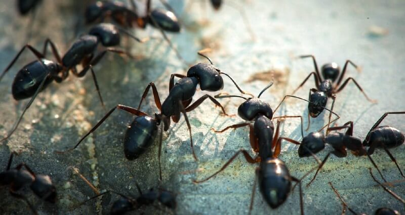 Interior Ant Removal And Control Ann Arbor