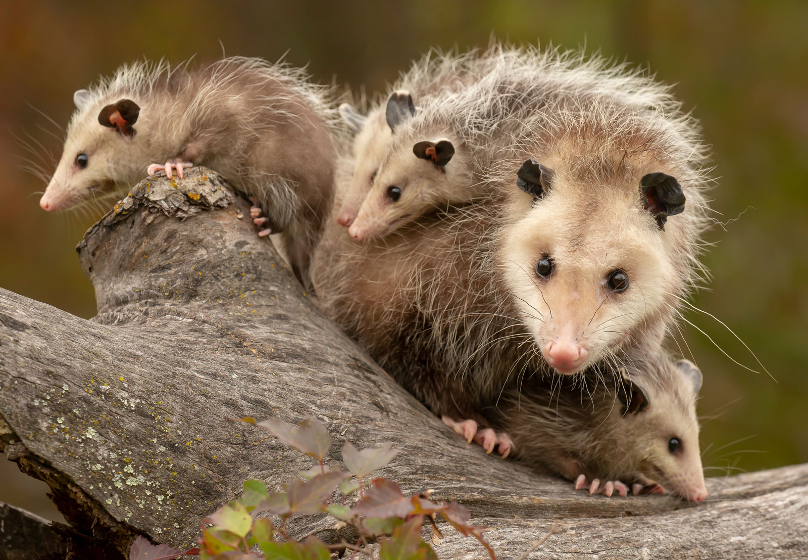Opossum Trapping & Removal Service